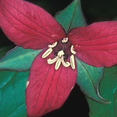 Flowers: Trillium erectum. ~ By David Stone. ~ Copyright © 2020 New England Wild Flower Society. ~ Image Request, images[at]newenglandwild.org