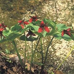 Plant form: Trillium erectum. ~ By Arieh Tal. ~ Copyright © 2021 Arieh Tal. ~ http://botphoto.com/ ~ Arieh Tal - botphoto.com