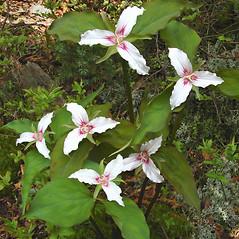 Plant form: Trillium undulatum. ~ By Donna Kausen. ~ Copyright © 2021 Donna Kausen. ~ 33 Bears Den, Addison, ME 04606