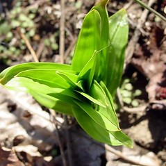 Leaves: Veratrum latifolium. ~ By Martha Baskin. ~ Copyright © 2021 Martha Baskin. ~ baskinmartha[at]gmail.com ~ North Carolina Native Plant Society - www.ncwildflower.org/index.php/site/