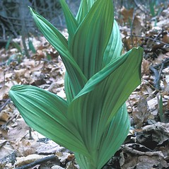 Leaves: Veratrum viride. ~ By Frank Bramley. ~ Copyright © 2021 New England Wild Flower Society. ~ Image Request, images[at]newenglandwild.org