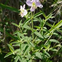 Plant form: Rhexia mariana. ~ By John Gwaltney. ~ Copyright © 2020 John Gwaltney. ~ southeasternflora.com ~ Southeastern Flora - www.southeasternflora.com/