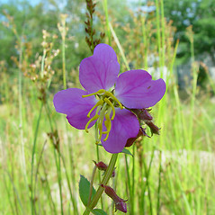 Flowers: Rhexia virginica. ~ By Arthur Haines. ~ Copyright © 2021. ~ arthurhaines[at]wildblue.net