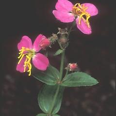Flowers: Rhexia virginica. ~ By Arieh Tal. ~ Copyright © 2021 Arieh Tal. ~ http://botphoto.com/ ~ Arieh Tal - botphoto.com