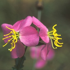 Flowers: Rhexia virginica. ~ By Dorothy Long. ~ Copyright © 2021 New England Wild Flower Society. ~ Image Request, images[at]newenglandwild.org