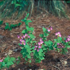 Plant form: Rhexia virginica. ~ By Bob Kelly. ~ Copyright © 2021 New England Wild Flower Society. ~ Image Request, images[at]newenglandwild.org