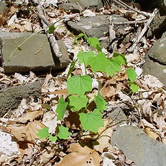 Plant form: Menispermum canadense. ~ By Arthur Haines. ~ Copyright © 2020. ~ arthurhaines[at]wildblue.net
