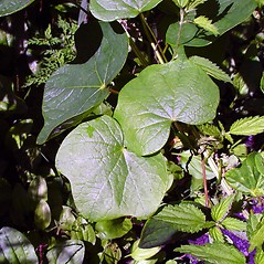 Leaves: Menispermum canadense. ~ By Arthur Haines. ~ Copyright © 2021. ~ arthurhaines[at]wildblue.net