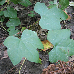 Leaves: Menispermum canadense. ~ By Karen Searcy. ~ Copyright © 2021 Karen Searcy. ~ ksearcy[at]bio.umass.edu