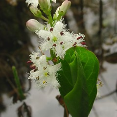 Flowers: Menyanthes trifoliata. ~ By Glen Mittelhauser. ~ Copyright © 2020 Glen Mittelhauser. ~ www.mainenaturalhistory.org
