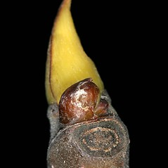 Winter buds: Ficus carica. ~ By Robert Vid_ki. ~ Copyright © 2020 CC BY-NC 3.0. ~  ~ Bugwood - www.bugwood.org/