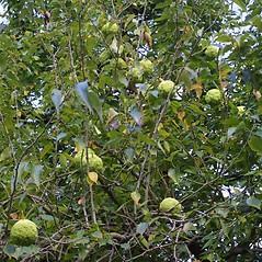 Fruits: Maclura pomifera. ~ By Steven Baskauf. ~ Copyright © 2020 CC-BY-NC-SA. ~  ~ Bioimages - www.cas.vanderbilt.edu/bioimages/frame.htm