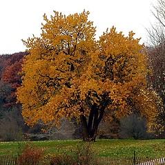 Plant form: Maclura pomifera. ~ By Paul S. Drobot. ~ Copyright © 2020 Paul S. Drobot. ~ www.plantstogrow.com, www.plantstockphotos.com ~ Robert W. Freckmann Herbarium, U. of Wisconsin-Stevens Point