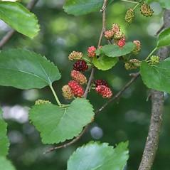 Fruits: Morus alba. ~ By Arieh Tal. ~ Copyright © 2021 Arieh Tal. ~ www.nttlphoto.com ~ Arieh Tal - www.nttlphoto.com