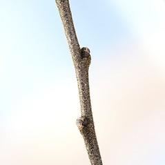 Winter buds: Comptonia peregrina. ~ By Arieh Tal. ~ Copyright © 2020 Arieh Tal. ~ www.nttlphoto.com ~ Arieh Tal - www.nttlphoto.com