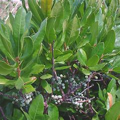 Fruits: Morella caroliniensis. ~ By Glen Mittelhauser. ~ Copyright © 2020 Glen Mittelhauser. ~ www.mainenaturalhistory.org