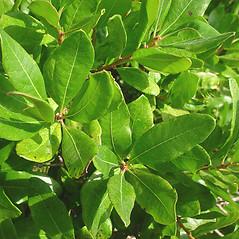 Leaves: Morella caroliniensis. ~ By Glen Mittelhauser. ~ Copyright © 2020 Glen Mittelhauser. ~ www.mainenaturalhistory.org
