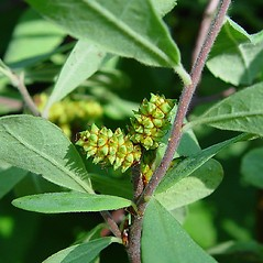 Fruits: Myrica gale. ~ By Arthur Haines. ~ Copyright © 2021. ~ arthurhaines[at]wildblue.net