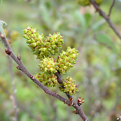 Fruits: Myrica gale. ~ By Glen Mittelhauser. ~ Copyright © 2021 Glen Mittelhauser. ~ www.mainenaturalhistory.org