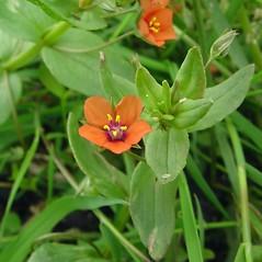 Flowers: Lysimachia arvensis. ~ By Glen Mittelhauser. ~ Copyright © 2020 Glen Mittelhauser. ~ www.mainenaturalhistory.org