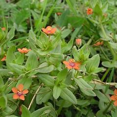 Plant form: Lysimachia arvensis. ~ By Glen Mittelhauser. ~ Copyright © 2020 Glen Mittelhauser. ~ www.mainenaturalhistory.org
