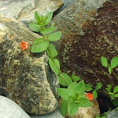 Plant form: Lysimachia arvensis. ~ By Glen Mittelhauser. ~ Copyright © 2021 Glen Mittelhauser. ~ www.mainenaturalhistory.org