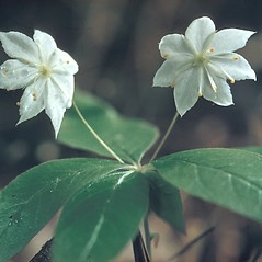 Flowers: Lysimachia borealis. ~ By Lawrence Newcomb. ~ Copyright © 2020 New England Wild Flower Society. ~ Image Request, images[at]newenglandwild.org