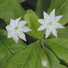 Flowers: Lysimachia borealis. ~ By Marilee Lovit. ~ Copyright © 2020 Marilee Lovit. ~ lovitm[at]gmail.com