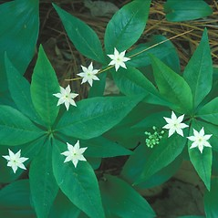 Plant form: Lysimachia borealis. ~ By Hal Horwitz. ~ Copyright © 2020 New England Wild Flower Society. ~ Image Request, images[at]newenglandwild.org