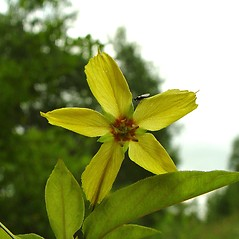 Flowers: Lysimachia ciliata. ~ By Arthur Haines. ~ Copyright © 2020. ~ arthurhaines[at]wildblue.net