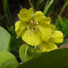 Flowers: Lysimachia ciliata. ~ By Glen Mittelhauser. ~ Copyright © 2021 Glen Mittelhauser. ~ www.mainenaturalhistory.org