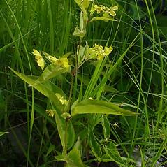 Plant form: Lysimachia ciliata. ~ By Glen Mittelhauser. ~ Copyright © 2021 Glen Mittelhauser. ~ www.mainenaturalhistory.org
