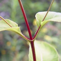 Stems: Lysimachia ciliata. ~ By Arthur Haines. ~ Copyright © 2021. ~ arthurhaines[at]wildblue.net