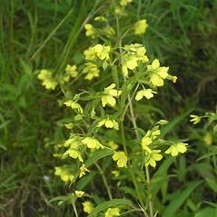 Flowers: Lysimachia hybrida. ~ By Bruce Patterson. ~ Copyright © 2020 Bruce Patterson. ~ foxpatterson[at]comcast.net
