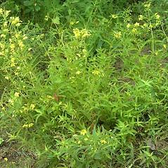 Plant form: Lysimachia hybrida. ~ By Bruce Patterson. ~ Copyright © 2020 Bruce Patterson. ~ foxpatterson[at]comcast.net