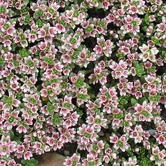 Plant form: Lysimachia maritima. ~ By Glen Mittelhauser. ~ Copyright © 2019 Glen Mittelhauser. ~ www.mainenaturalhistory.org