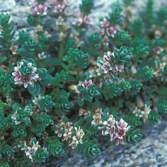 Plant form: Lysimachia maritima. ~ By Jean Baxter. ~ Copyright © 2021 New England Wild Flower Society. ~ Image Request, images[at]newenglandwild.org