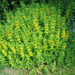 Plant form: Lysimachia punctata. ~ By Marilee Lovit. ~ Copyright © 2021 Marilee Lovit. ~ lovitm[at]gmail.com