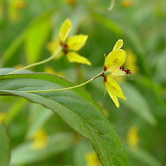Flowers: Lysimachia quadrifolia. ~ By Arthur Haines. ~ Copyright © 2021. ~ arthurhaines[at]wildblue.net