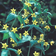 Plant form: Lysimachia quadrifolia. ~ By Albert Bussewitz. ~ Copyright © 2021 New England Wild Flower Society. ~ Image Request, images[at]newenglandwild.org