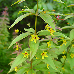 Plant form: Lysimachia quadrifolia. ~ By Arthur Haines. ~ Copyright © 2021. ~ arthurhaines[at]wildblue.net