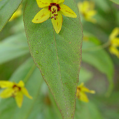 Leaves: Lysimachia quadrifolia. ~ By Arthur Haines. ~ Copyright © 2021. ~ arthurhaines[at]wildblue.net