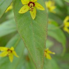 Leaves: Lysimachia quadrifolia. ~ By Arthur Haines. ~ Copyright © 2019. ~ arthurhaines[at]wildblue.net