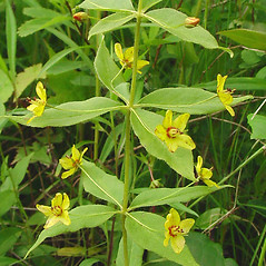 Leaves: Lysimachia quadrifolia. ~ By Glen Mittelhauser. ~ Copyright © 2019 Glen Mittelhauser. ~ www.mainenaturalhistory.org