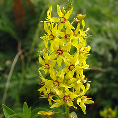 Flowers: Lysimachia terrestris. ~ By Donald Cameron. ~ Copyright © 2019 Donald Cameron. ~ No permission needed for non-commercial uses, with proper credit