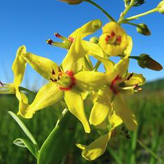 Flowers: Lysimachia terrestris. ~ By Donna Kausen. ~ Copyright © 2020 Donna Kausen. ~ 33 Bears Den, Addison, ME 04606