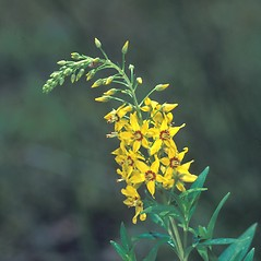 Flowers: Lysimachia terrestris. ~ By David Stone. ~ Copyright © 2019 New England Wild Flower Society. ~ Image Request, images[at]newenglandwild.org