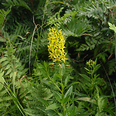 Plant form: Lysimachia terrestris. ~ By Donald Cameron. ~ Copyright © 2021 Donald Cameron. ~ No permission needed for non-commercial uses, with proper credit