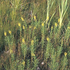 Plant form: Lysimachia terrestris. ~ By Frank Bramley. ~ Copyright © 2021 New England Wild Flower Society. ~ Image Request, images[at]newenglandwild.org