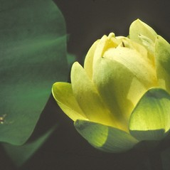 Flowers: Nelumbo lutea. ~ By Jean Baxter. ~ Copyright © 2021 New England Wild Flower Society. ~ Image Request, images[at]newenglandwild.org